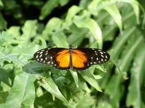 butterflywatermark